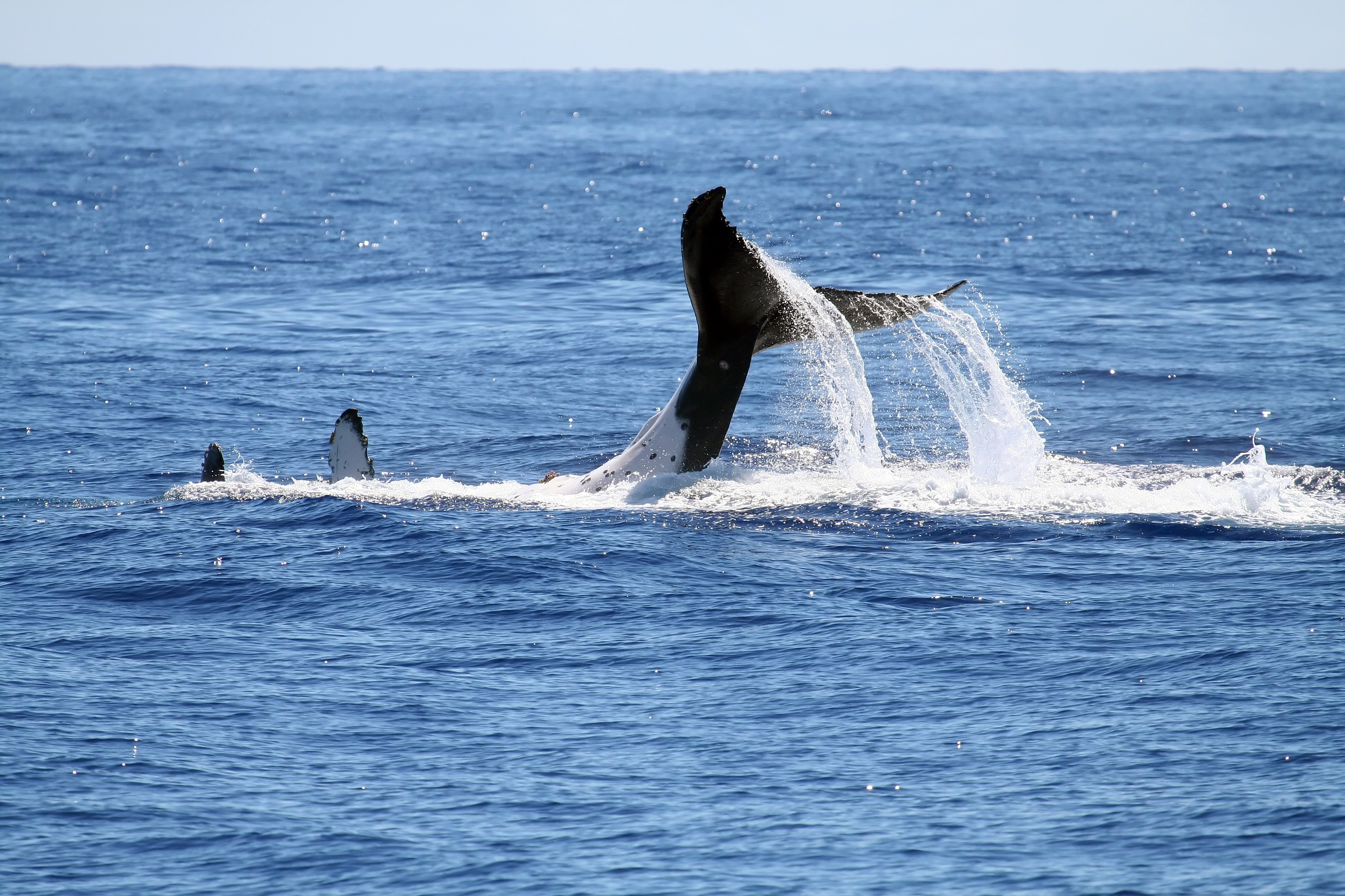 Whale playing on its back, with tail out of the water, up in the air